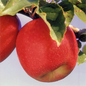 Oral Allergy Syndrome or Pollen-Food Allergy Syndrome is common amongst hay fever sufferers with certain stone fruits and vegetables causing an itchy mouth